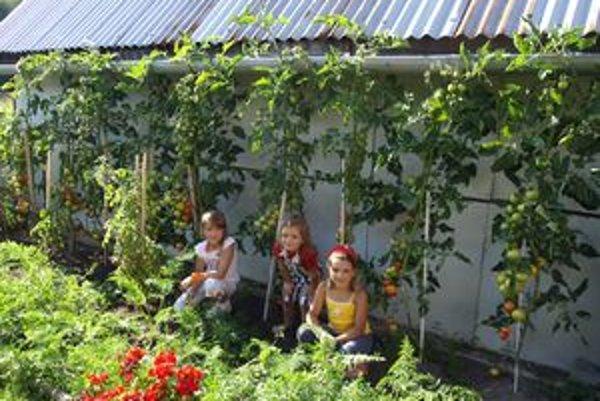 Bohatá úroda paradajok v Zábiedove.