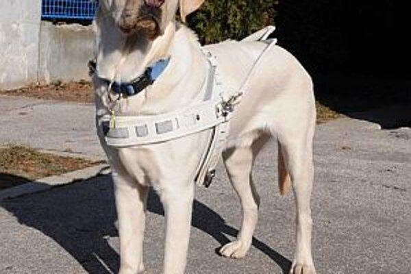 Pomocník - vodiaci pes v pracovnom postroji