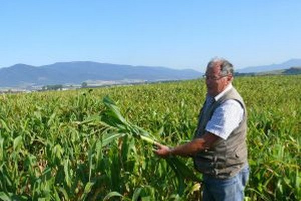 Sucho ničí kukuricu.