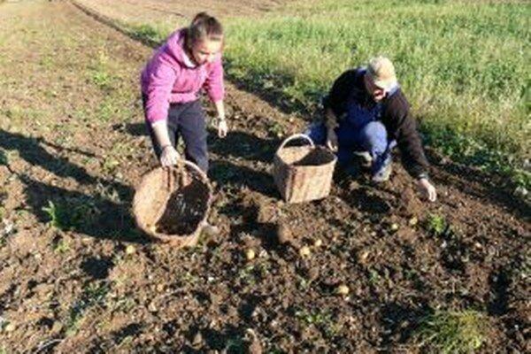 Na poli v Ležiachove. Dušan Pavlarský aj s dcérou zbierali zemiaky minulý štvrtok.