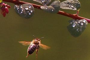 Včela letí okolo listov, ktoré sú pokryté dažďovými kvapkami.