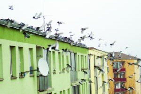 Lietajúca hrozbaHoluby ničia fasády domov a roznášajú choroby. Zbaviť sa ich je ťažké.
