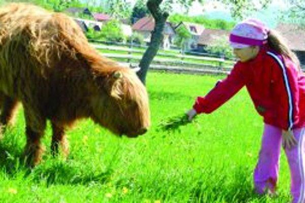 Chlpaté čudo. Betka je škótskym plemenom kravy. Teliatko je ešte plaché, ale Paťky sa nebála.