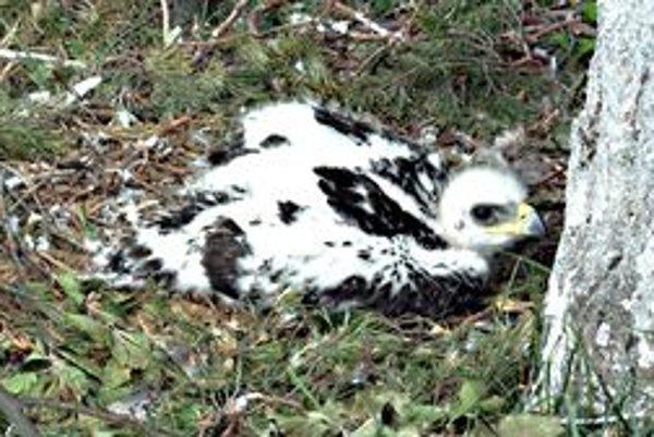 Život orlieho mláďaťa v hniezde monitoruje kamera a v online prenose i ochranári a verejnosť.