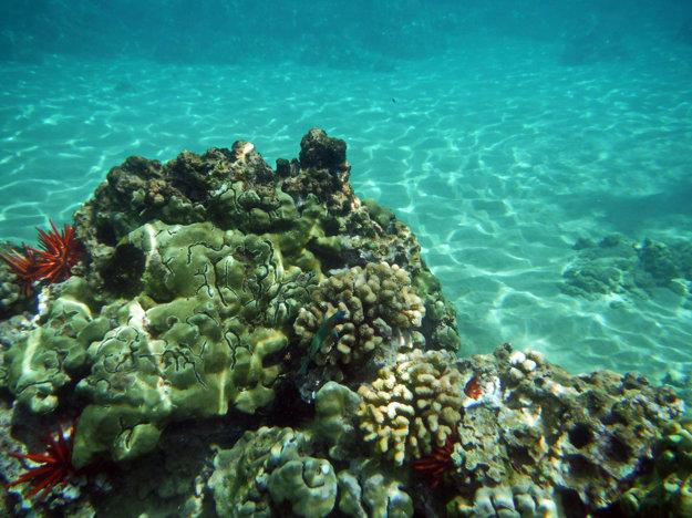 Typické koraly na Havajských ostrovoch