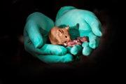 Zdravá dospelá myš, ktorá sa narodila dvom matkám, dokázala sama splodiť vlastné mladé.