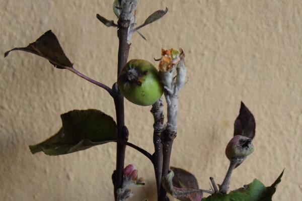 Dôkaz nezvyčajného úkazu, v podobe rozkvitnutej jablone s kvetmi a prvými plodmi, nám priniesol pán František ukázať do redakcie.