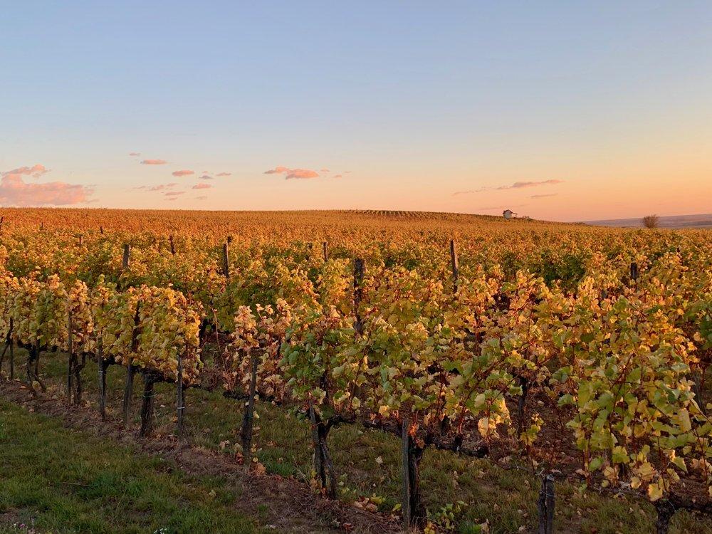 Tokajská vínna réva
