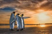 Traja králi. Tučniaci kráľovskí na pláži na Falklandských ostrovoch.