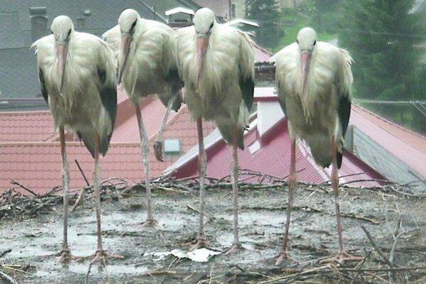 Štyri mláďatá sa pošťastili páriku v Partizánskej Ľupči.