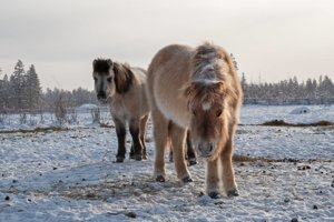 Hlavným zdrojom obživy je v Ojmiakone konské a sobie mäso.