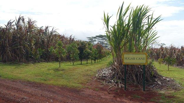 Cukrová trstina naDolovej plantáži