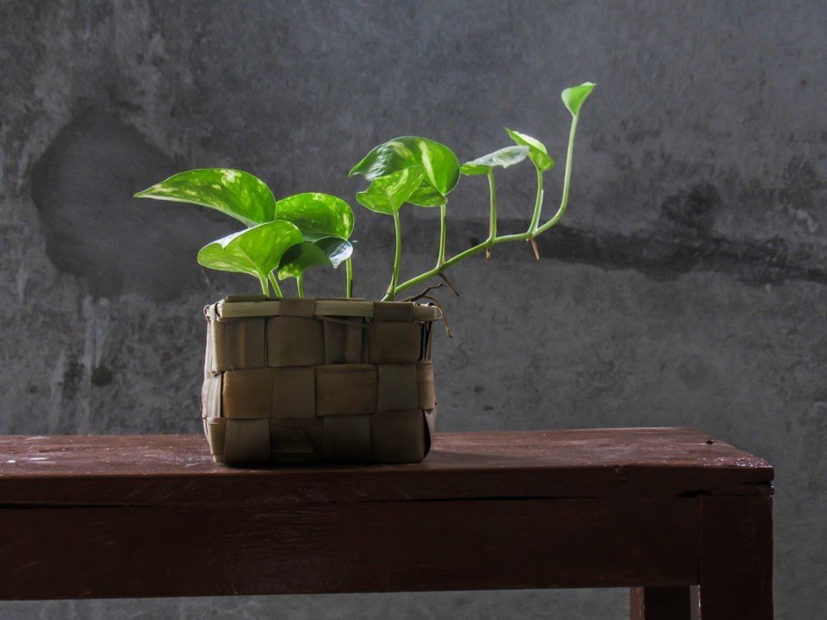 3cd1dafb5113 Ilustračné foto. Vedci vyvinuli rastlinu, ktorá dokáže premeniť toxické  látky vo vzduchu na živiny