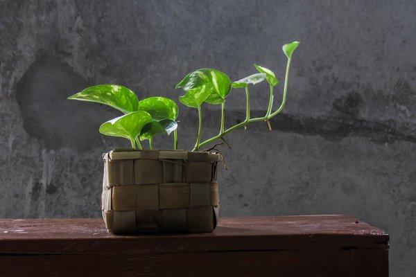 Ilustračné foto. Vedci vyvinuli rastlinu, ktorá dokáže premeniť toxické látky vo vzduchu na živiny pre seba.