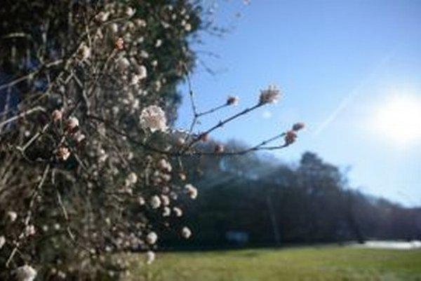 Romantické, ale pre úrodu nebezpečné, ak naraz príde mráz a puky zamrznú.