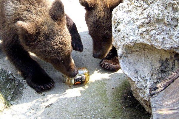 Schádzajú do dediny, záhrad. Staré statné medvede sa držia hlboko v horách.