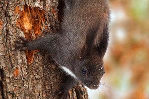 Veverica stromová.