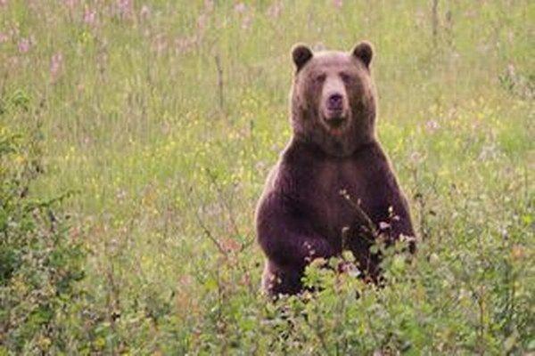 V čase oficiálneho sčítania v marci tohto roka napočítali v ružomberskom revíri 23 medveďov.