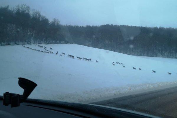 Obrovská črieda jeleňov.