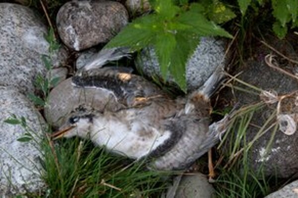 Spoločenská hodnota jedného rybára riečneho je približne 1600 eur. Na Liptovskej Mare ich uhynulo 50.