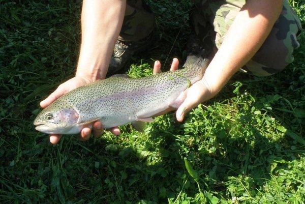 Rybári nasadili do rieky Nitry pstruhy dúhové.