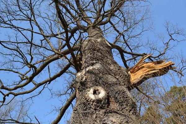 Chránený dub letný v mestskom parku potrebuje orezať a ošetriť.