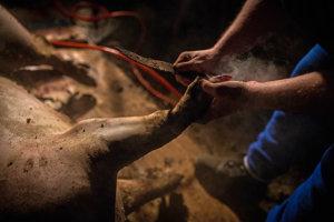 Aj paprče z prasaťa sa zužitkujú, preto treba odstrániť paznechty.