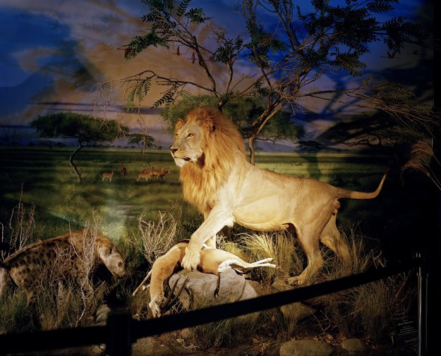Naaranžovaný biely lev ako poľovná trofej. V Južnej Afrike žije v zajatí viac levov ako vo voľnej prírode. Väčšinu z nich chovajú pre poľovníkov trofejí a rôzne levie farmy by mohli by  zachrániť levy žijúce vo voľnej prírode.