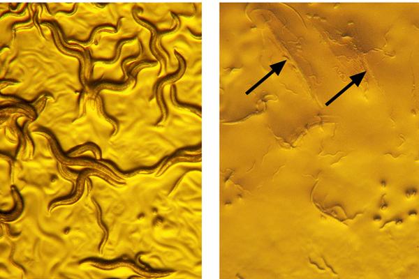 Vľavo normálne červy a vpravo červy, ktoré rozložila baktéria zlatá smrť.