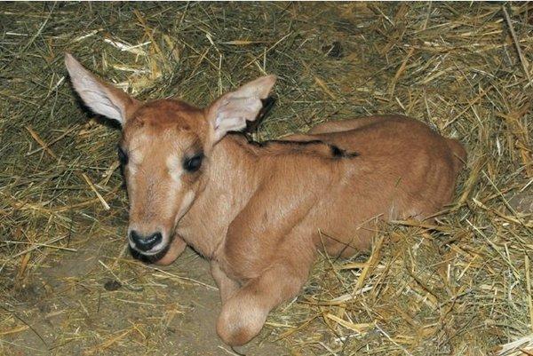 Samček antilopy vranej je prvým tohtoročným prírastkom antilop v zoo Bojnice.