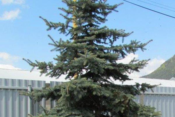 Zviera trávilo čas na ihličnatom strome.