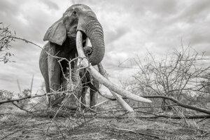 Slonica mala veľké šťastie. Prežila 60 rokov bez toho, aby ju ulovili pytliaci.
