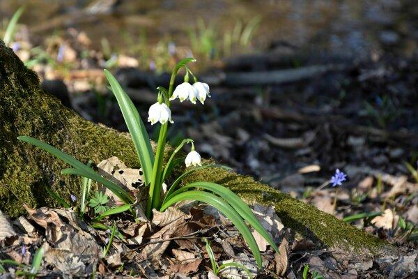 Bleduli jarnej karpatskej sa darí vo vlhkom prostredí.