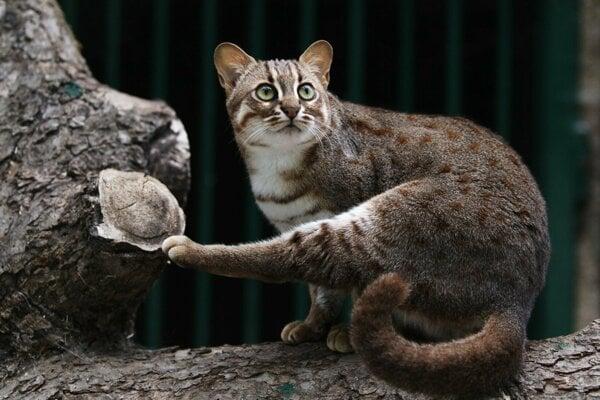 Mačka červenoškvrnná.