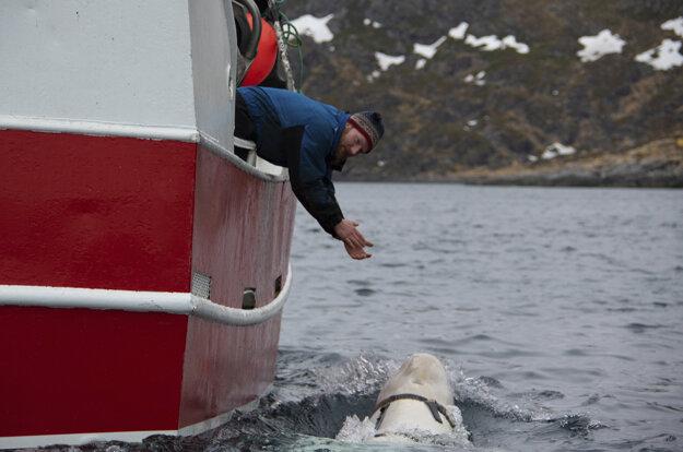 Nórsky rybár Joar Hesten sa snaží upútať bieluhu s postrojom, ktorá pláva v blízkosti rybárskej lode.