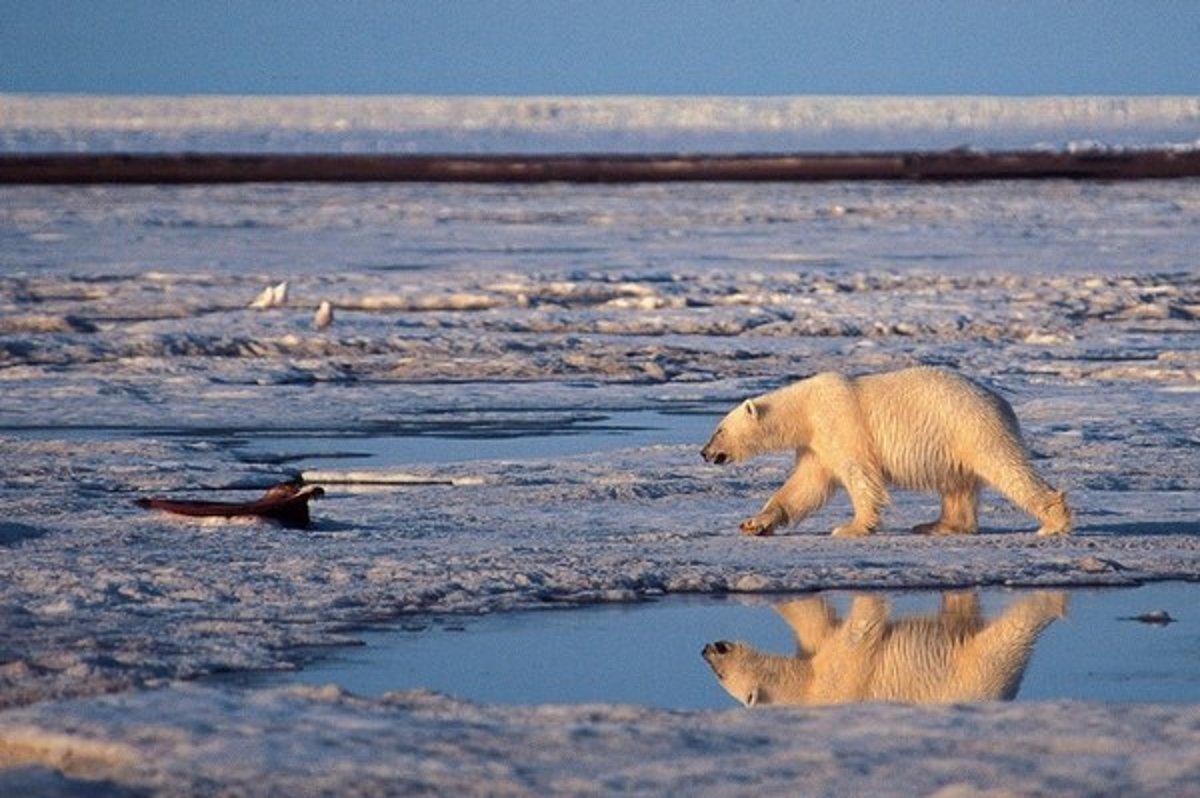 Ľadové medvede sú odkázané na ľad a studenú Arktídu. 4745b34f1a