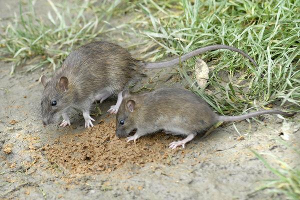 Potkany sú aj napriek pravidelnej celoplošnej deratizácii problémom.