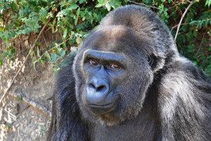 Gorila Trudy.
