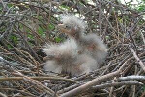 Mláďatá Chavkoša nočného. V ich kolónii sa nachádza 38 hniezd
