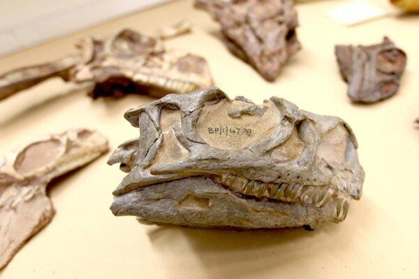 Lebka dinosaura ngwevu intlok v zbierke múzea v Johannesburgu.