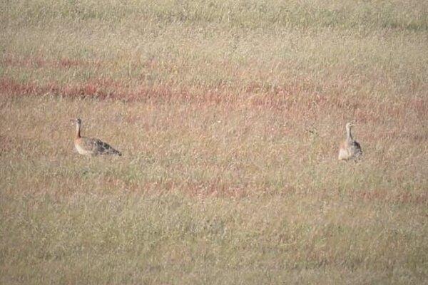 Prvá informácia o výskyte dropa fúzatho prišla od ornitológov z okresu Senica.