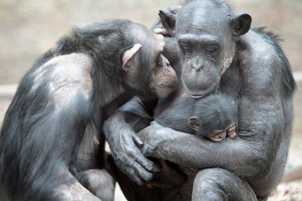 Gény určujú nielen inteligenciu ľudí, ale aj šimpanzov.