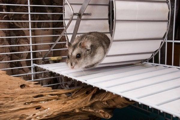 Experiment s divokými zvieratami ukázal, že hlodavce obľubujú behanie.