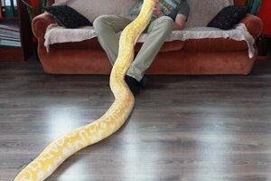 Na Slovensku v prírode obrovské hady nemáme. Najdlhšia je užovka stromová, ktorá môže výnimočne dorásť do dvoch metrov.