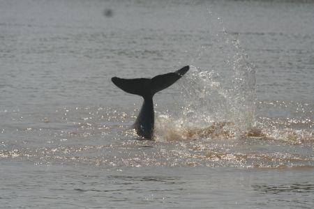 delfiny_mekong6.jpg