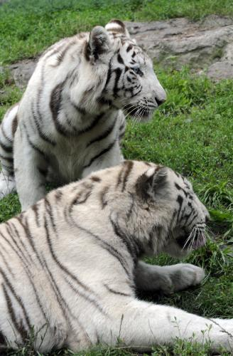 tiger-bratislava5_tasr.jpg