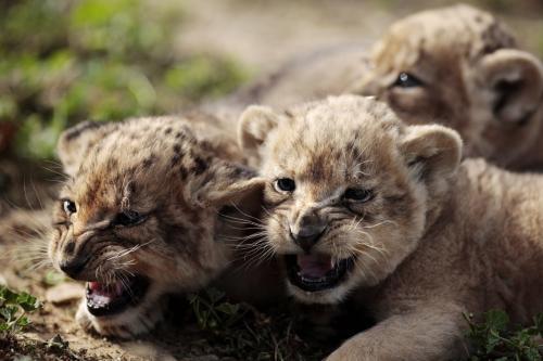 levicata-safari_4_ap.jpg