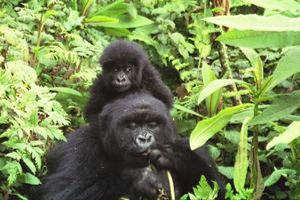 Z populácie gorily horskej, ktorá žije v strednej Afrike, ostalo už len niekoľko stoviek exemplárov.