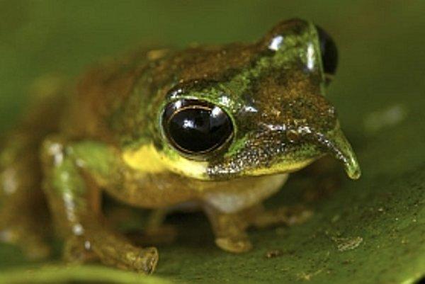 Stromová žaba s výrastkom na nose.