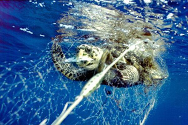 Tisícky korytnačiek umierajú v sieťach rybárov. Pre korytnačky sú totiž takéto siete prakticky neviditeľné, a preto sa do nich často zamotávajú.